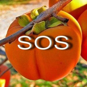 SOS Caquis ex 20 10 15