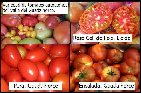 Tomate rojo antioxidante
