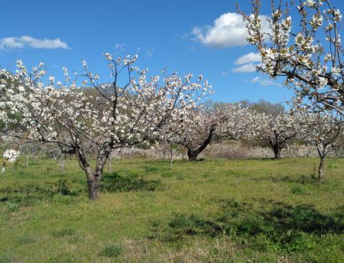 Floración de los cerezos de Eva y Silvano