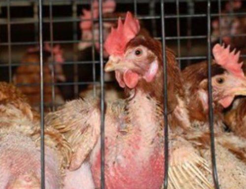 De gallinas bien criadas, huevos ecológicos