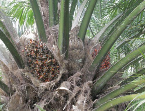El boicot al aceite de palma no es la solución