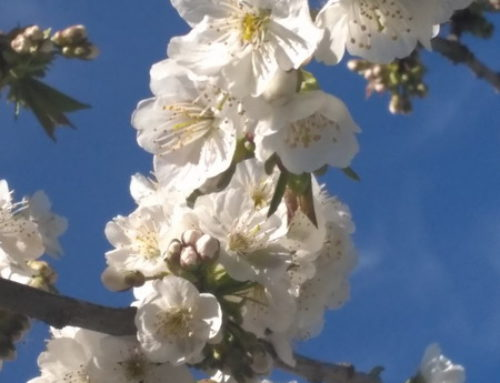 Ya han florecido los cerezos en la Vera