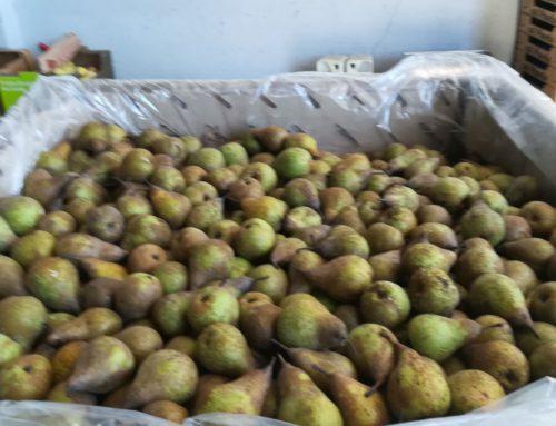 Control de calidad de las peras confencia de FruitalPuntBio