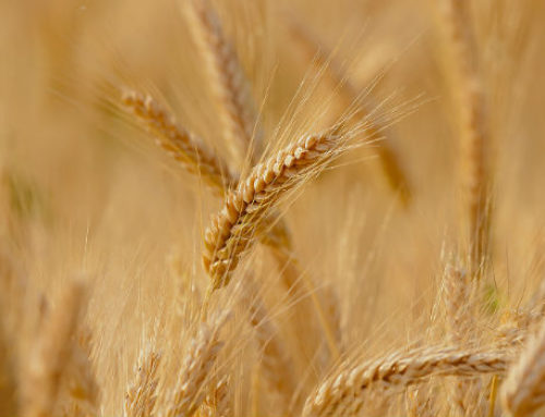 La esperanza de los cereales menores