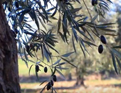 El olivar ecológico tradicional de Montes de Toledo